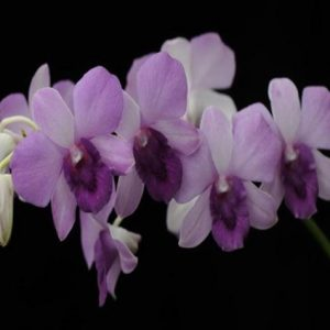 Dendrobium Sogo Blue planet