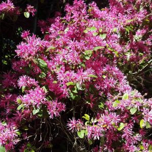 Loropetalum chinense 'Pink'
