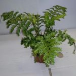 Asplenium 'Island Beauty'