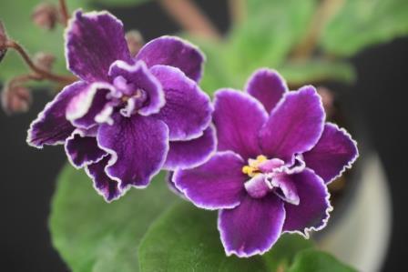 African Violet Black Ace