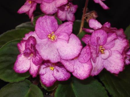 African Violet International