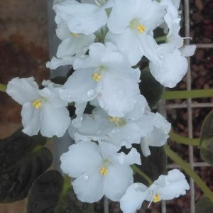 African Violet Ness Viking Frost