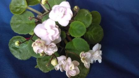 African Violet Opt Little Pearl