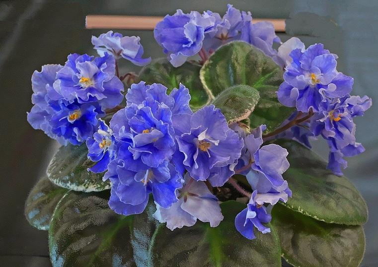 African Violet Pacific Sky