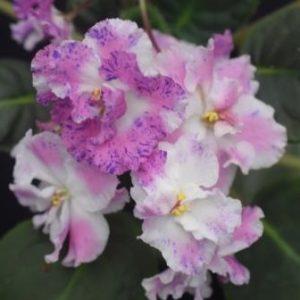 African Violet Playful Spectrum