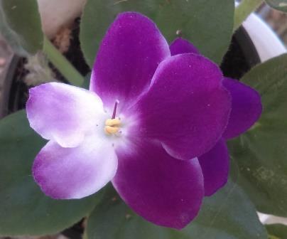 African Violet Whirlygig