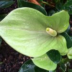 Anthurium Princess Alexia Mint
