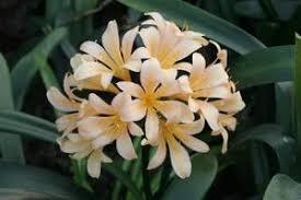Clivia miniata 'Pastel'