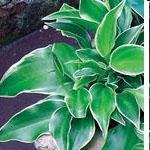 Hosta Dew Drop