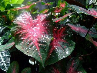caladium bicolour