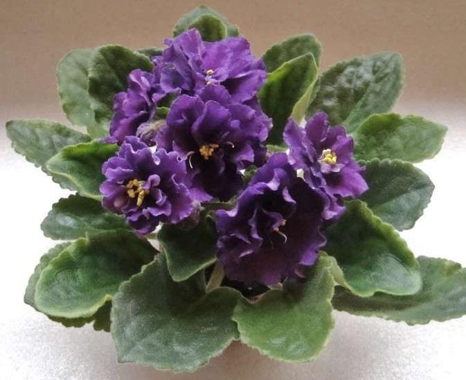 African Violet Plum Pudding