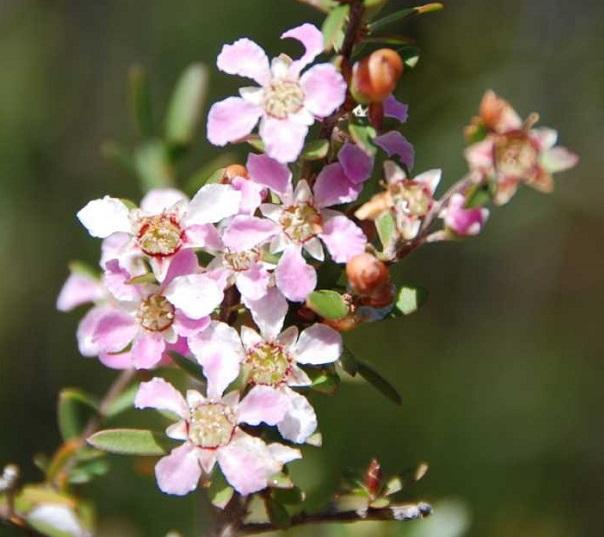 leptospermum liversedgei