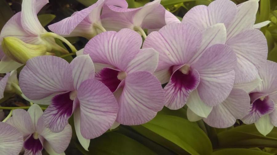 Dendrobium Love Pink Stripe