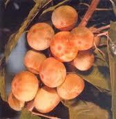 Pouteria Species