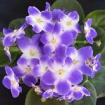 African Violet Optimara Monet
