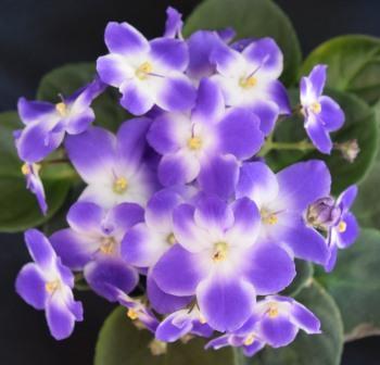 African Violet Monet