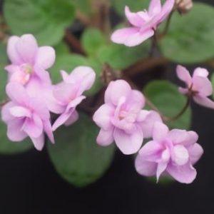 African Violet Optimara Rose Quartz