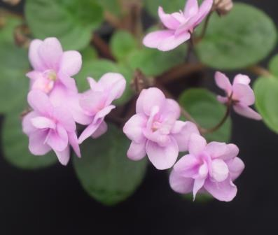 African Violet Optimara Rose Quartz