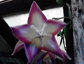 Hoya macgiillivrayii Crinkled