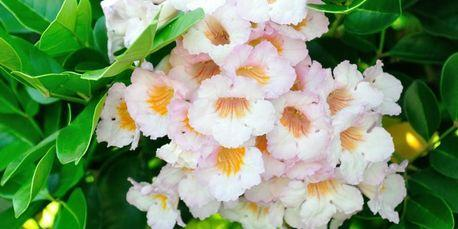 Radermachera Everlasting Beauty