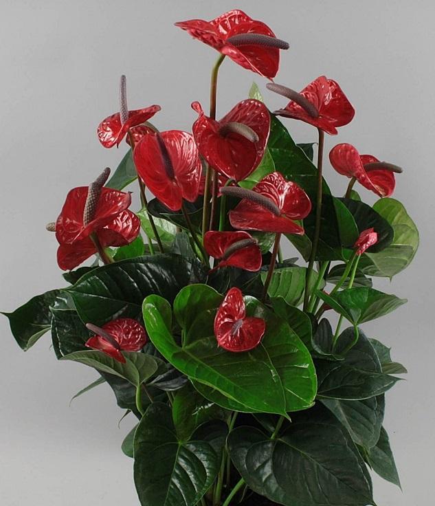 Anthurium Lipstick Red