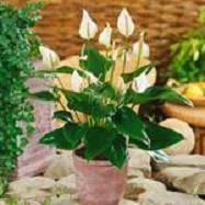 Anthurium aesthesia white