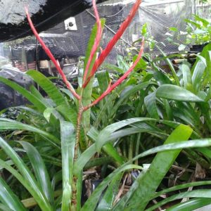 Vriesia glutinosa
