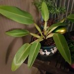 Philodendron martinianum