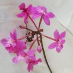 Epidendrum purple