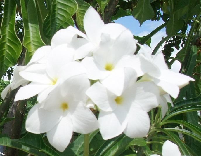 Plumeria pudica everlasting love