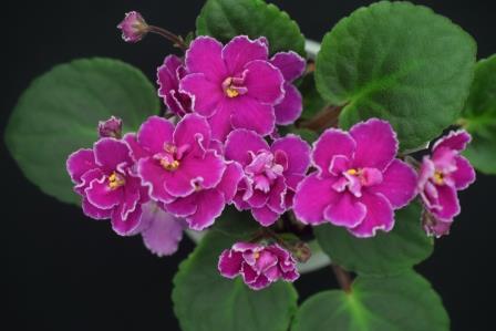 African Violet Hallmark Haven