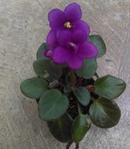 African Violet Opt Little Ruby