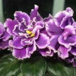 African Violet Ness Grape Fizz