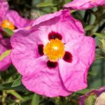 Cistus x purpureus Brilliancy