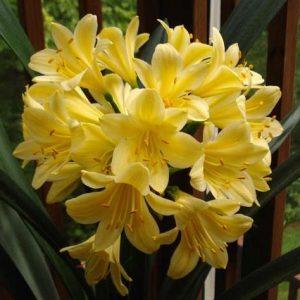 Clivia miniata Yellow