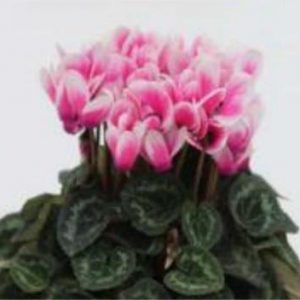 Cyclamen Picola Deep Rose