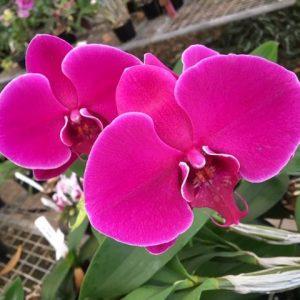 Phalaenopsis Lianher Super Red