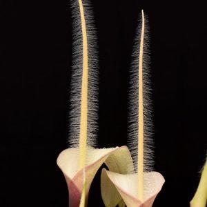 Amorphophallus natoli