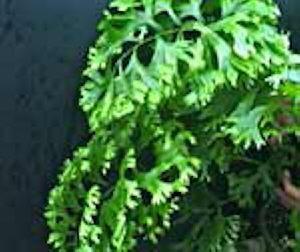 polypodium fallax