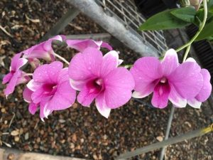 Dendrobium Queen of Heaven