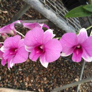 Dendrobium Queen of Heaven