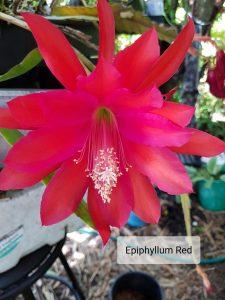 Epiphyllum Red