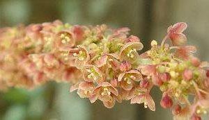 Star Gooseberry flower
