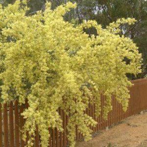 Acacia victoriae