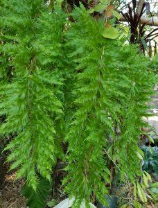 Drynaria rigidula cv. whitei foliage