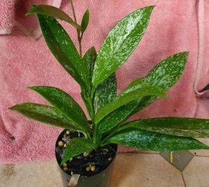 Hoya publicalyx 'Silver Schillachi' Foliage