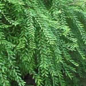 Phyllanthus multiflora