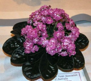African Violet Day Dream