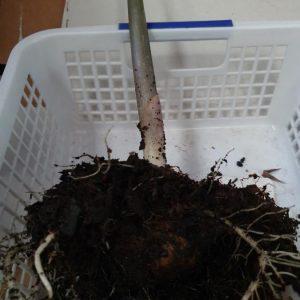 Amorphophallus titanum tuber