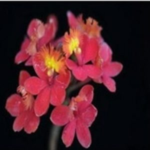 Epidendrum Star Valley 'Karragabi'